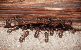 Каким способом избавиться от муравьев в квартире