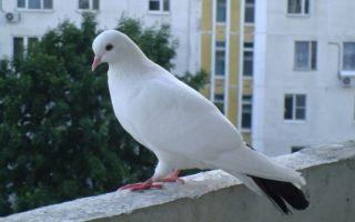 Как навсегда прогнать голубей с балкона, эффективные методы