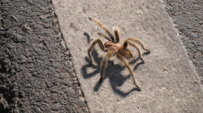Паук пробирается по улице в дом