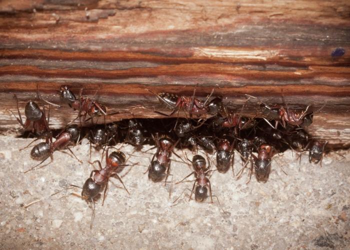 Неприятные на вид муравьи