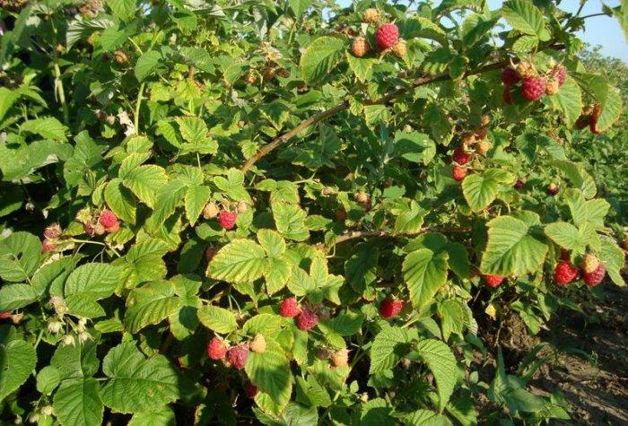 Большой куст малины со спелыми ягодами