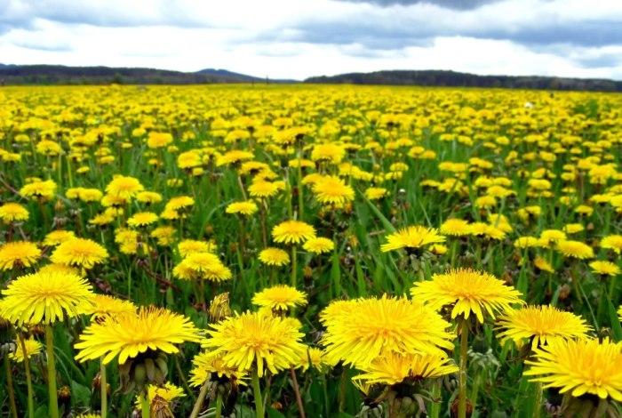 Желтое поле одуванчиков