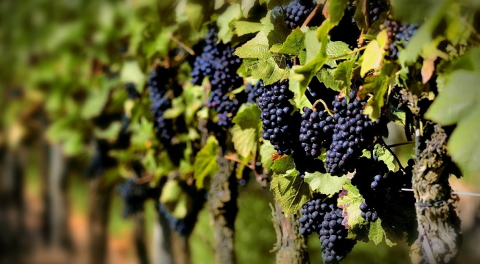 Сад с виноградными деревьями