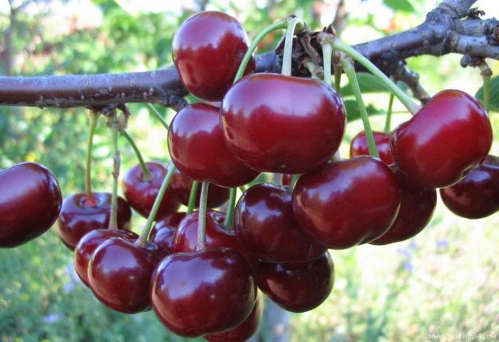 Дозревающая вишня