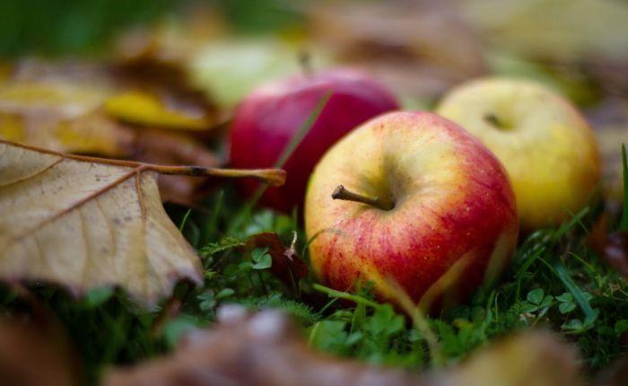 Осенние спелые яблоки